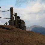 Des singes japonais