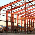 Des chameaux dans une structure métallique