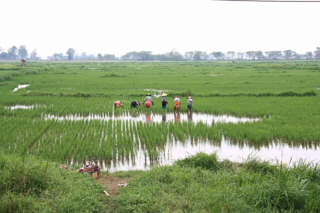 Paysans dans une rizière, Lac Inle, Myanamar